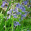 Bluebell (native)