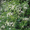 Cow Parsley; Queen Anne's Lace