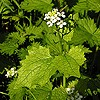 Garlic Mustard; Jack-by-the-hedge
