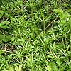 Goose Grass; Cleavers