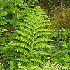 Lady Fern (finely dissected fronds)