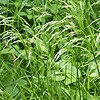 Smooth Meadow-grass
