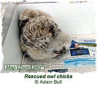 Rescued owl chicks