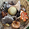 Some of the fungi species foraged