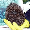 A prickly visitor from Hedgehog Care