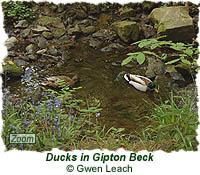 Ducks in Gipton Beck